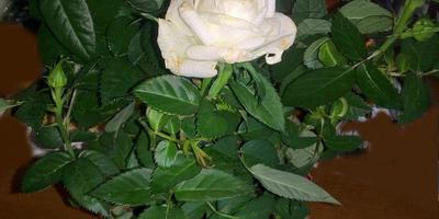 Что это за вид комнатной розы?