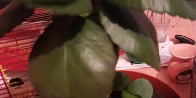 Как часто поливать каланхоэ? Можно ли опрыскивать листья?