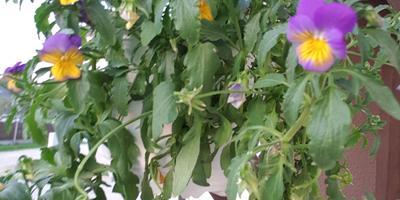 Помогите реанимировать цветы в кашпо