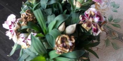 Почему некоторые цветочки отцвели или засохли на гвоздике?