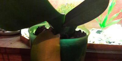 Срезать ли пожелтевший лист орхидеи?