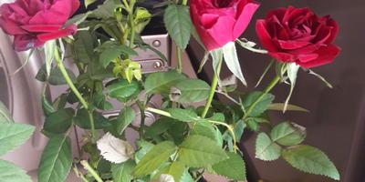 Когда пересаживать купленную розу?