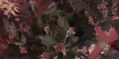 Отцвела хризантема. Обрезать ли цветы и листья, которые засохли?