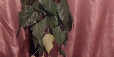 Желтеют листья у комнатного гибискуса. В чем причина?