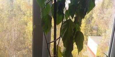 У моей китайской розы опадают листья, пересадка в свежую почву не помогла. Подскажите, в чем причина?