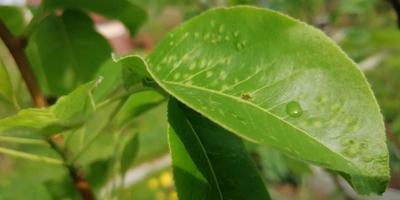 Помогите определить болезнь груши
