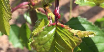 Муравьи объедают черешню. Посоветуйте, как ей помочь?