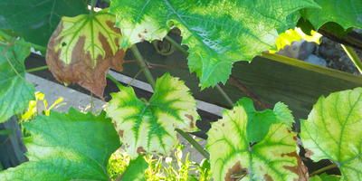 Заболевание винограда Изабелла. Помогите вылечить!