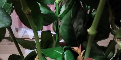 Можно ли как-то укоренить эти розы?