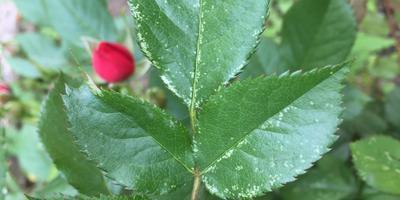 Помогите определить вредителя роз и избавиться от него