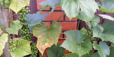 Что за болезнь случилась с виноградом, как и чем лечить?