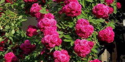 Как называется эта роза?