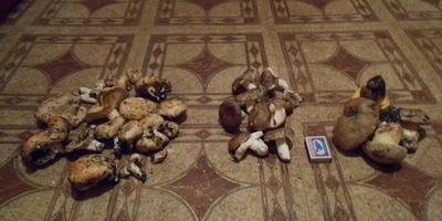 Что это за грибы и съедобны ли они?