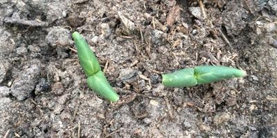 Почему огурцы взошли хорошо, но совсем не растут?
