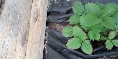 На листьях клубники появилась коричневая кромка. Что делать?