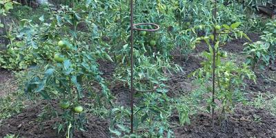 Подпорки для томатов - чтобы лишний раз не пришлось их подвязывать