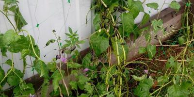 Что за жуки атаковали лимонник и чем их вытравить?