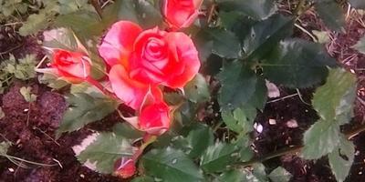 На листьях розы белые сухие пятна. Что за болезнь и как лечить?