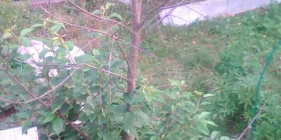 На листьях черешни мелкие круглые коричневые пятна. В чем причина?