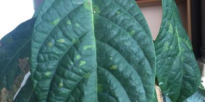 Помогите вылечить авокадо