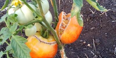 Лопаются томаты при созревании. В чем причина?