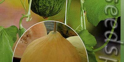 Опыт выращивания огурдыни