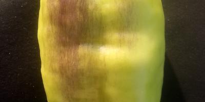 Почему перцы начали приобретать фиолетовый оттенок?
