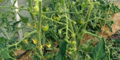 Чем заболели помидоры? И можно ли их вылечить?