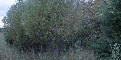 Помогите определить дерево!