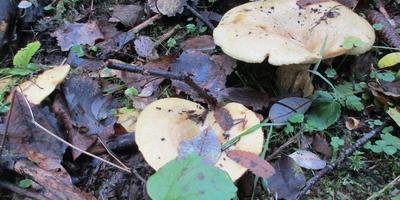 Жёлтые грузди. Крепкие, замечательные грибы