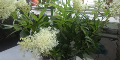 Что это за растение и можно ли посадить его в палисаднике?