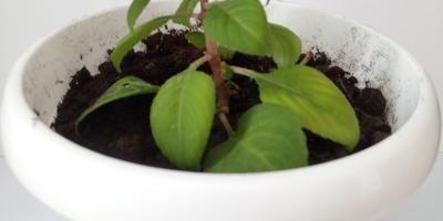 После пересадки у Ваньки мокрого побледнели листья. Что можно сделать?
