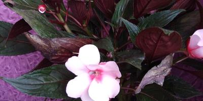 Как называется этот цветок? Как за ним ухаживать?