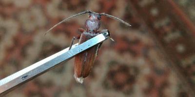 Помогите определить жука?