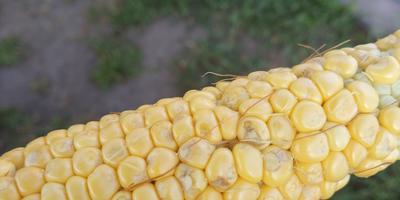 Что это за пятна на кукурузе? И почему появились колоски?