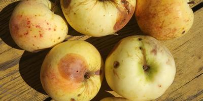 Помогите определить сорта яблок