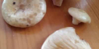 Скажите, пожалуйста, что за грибы?