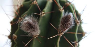 Какой это вид кактуса? И как за ним ухаживать?
