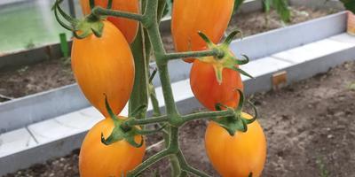 Самая урожайная кисть томата Котя F1
