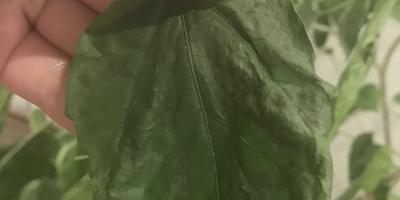 Почему после пересадки вянут и сохнут листья китайской розы?
