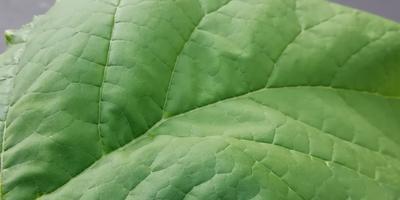 Некоторые листья на катальпе деформировались. В чем может быть причина?