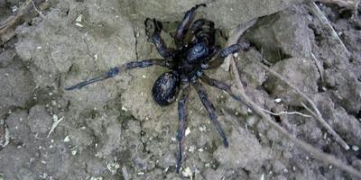 Подскажите, что это за паук? Ядовит ли он?