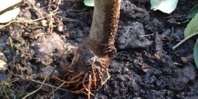 Как правильно посадить саженец яблони?
