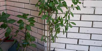 Как называется это комнатное растение? И что с ним происходит?