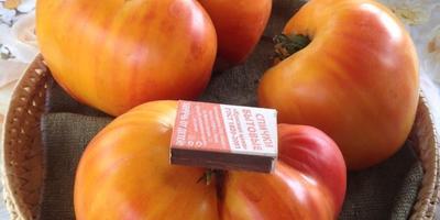 Самый крупный плод томата Сокровище Инков F1