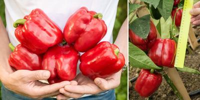 Крутые перцы: пятерка лучших толстостенных гибридов