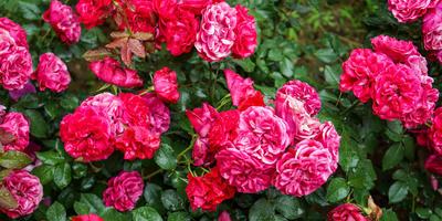 Чем обработать розы перед укрытием на зиму?