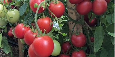 Выбираем самые сладкие черри. Идеальные томаты для засолки