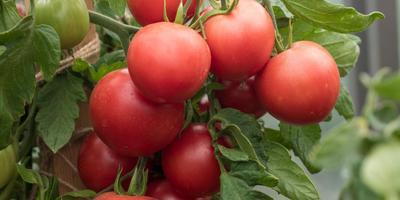Лирическая влюблённость в томаты: раннеспелые гибриды 'Лирика F1' и 'Лимеренс F1'