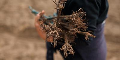 Когда, куда и как сажать виноград: советы от Николая Курдюмова